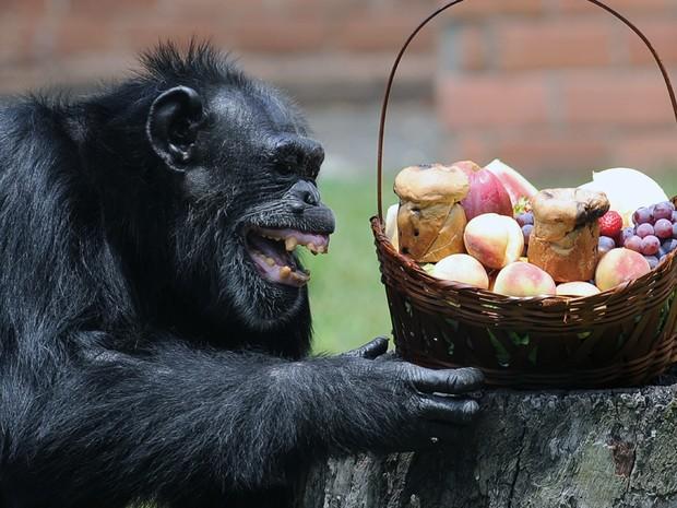 Chimpanzé Yoko recebeu cesta de Natal (Foto: Guilherme Tosetto/ G1 )