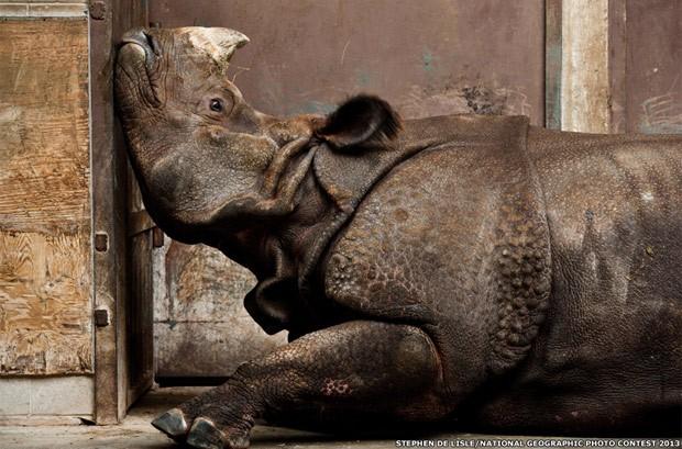 Um rinoceronte indiano, longe de casa e preso dentro do melancólico inverno do zoológico de Toronto. Esta foto de Stephen De Lisle recebeu menção honrosa na categoria 'Natureza' (Foto: Stephen De Lisle/National Geographic Photo Contest 2013)