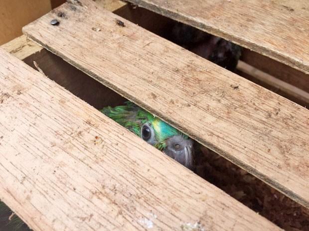 Animais eram transportados dentro de caixas de madeira (Foto: Murilo Zara/TV Fronteira)