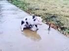 Porquinho vira hit na web após deslizar em calçada congelada