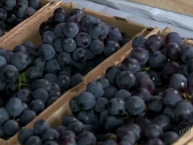 Uva em vinícola de Vinhedo, SP (Foto: Reprodução/ EPTV)
