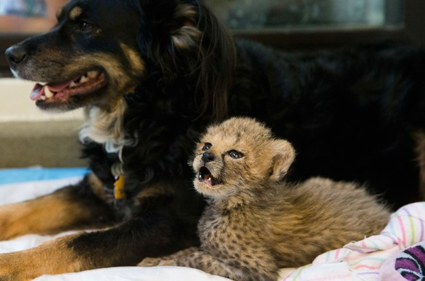 Pastor australiano Blakely virou 'babá' de cinco filhotes de guepardo no zoológico de Cincinnati (Foto: John Minchillo/AP)