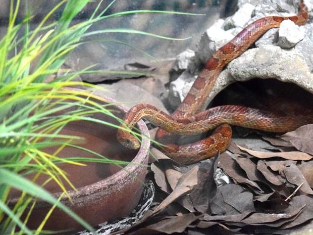 Cobra foi resgatada em Santa Rita, na Paraíba, e leva para exibição na Bica, em João Pessoa (Foto: Patrícia Cantisani/Divulgação)