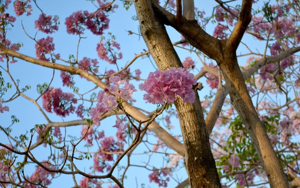 Fotos do Rodrigo mostram ipê rosa começando florada (Foto: Rodrigo Jadson/Arquivo Pessoal)