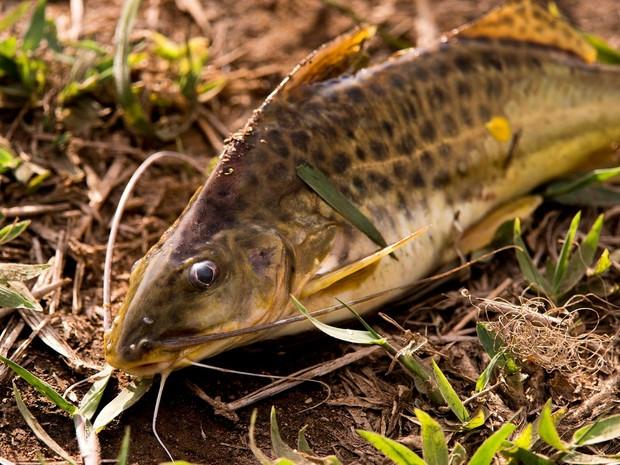 Peixe agoniza na lama do Rio Doce (Foto: Leonardo Merçon/ Instituto Últimos Refúgios)