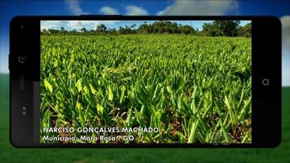 Produtor exibe plantação de açafrão em Mara Rosa