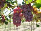 Em cachos ou suco, uva gera lucro para produtores de Mato Grosso