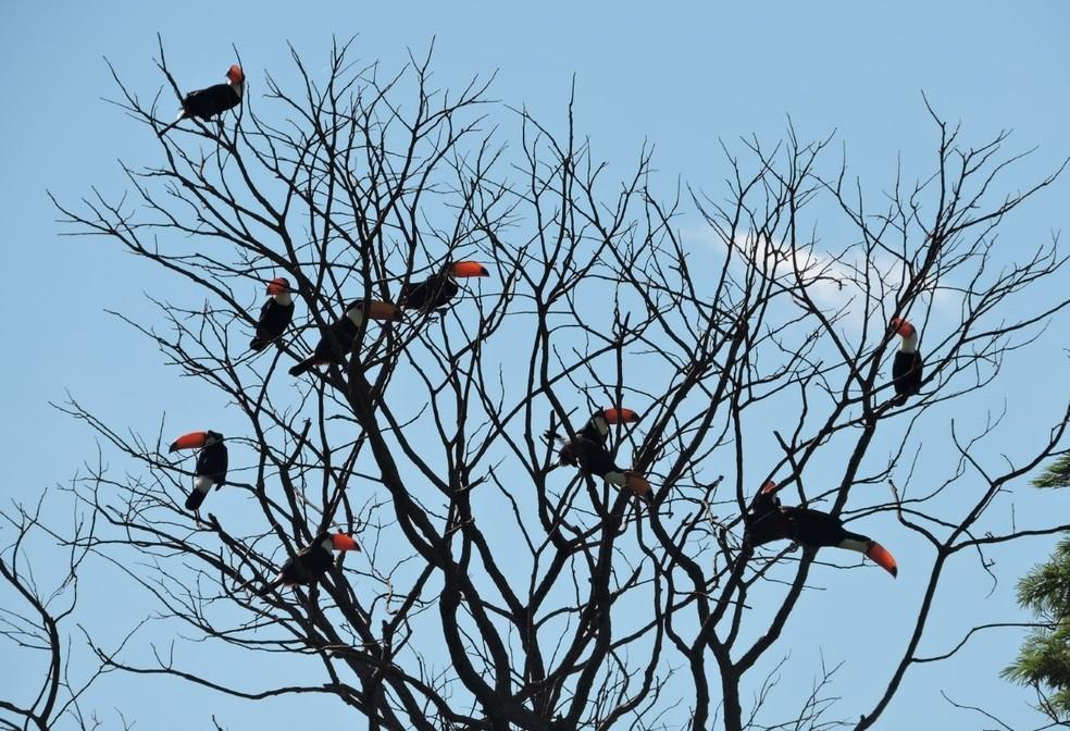 Tucanos em uma das visitas diárias à casa da Neide (Foto: Maria Neide Mota/Arquivo pessoal)