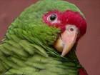 Biólogos e agricultores lutam para a preservação do papagaio-charão