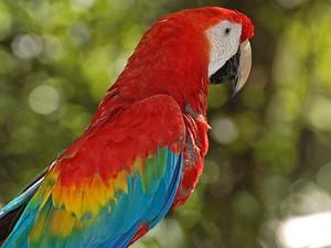 Araracanga é uma das belas aves que ocorrem na Amazônia brasileira (Foto: Rudimar Narciso Cipriani)