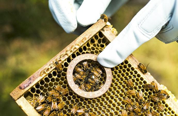 Mochila hi-tech:Até o fim do experimento, em junho, 5 mil abelhas serão equipadas com o sensor. O objetivo é entender o que matou 30% dos insetos nos EUA (Foto: Claus Lehmann)