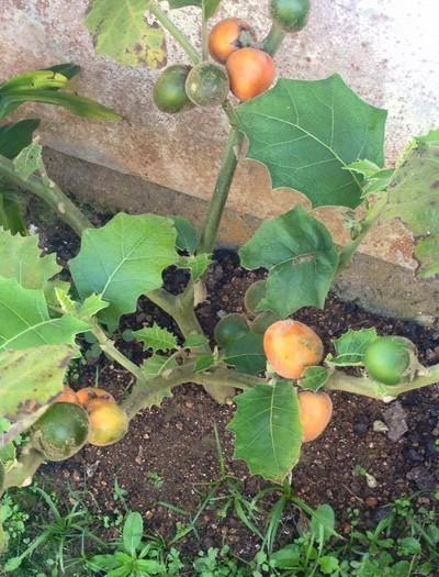 cubiu-fruta (Foto: Luiz Weber)