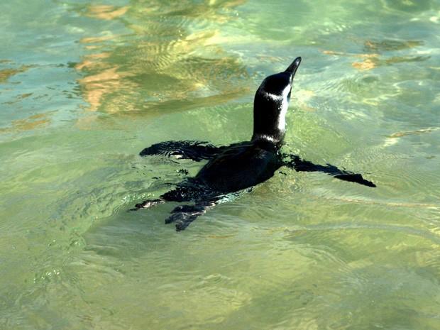 Pinguim nada tranquilo pelas águas da Praia do Arpoador na manhã desta quinta-feira (5). (Foto: Cristiana de Mello e Silva Richter/VC no G1)