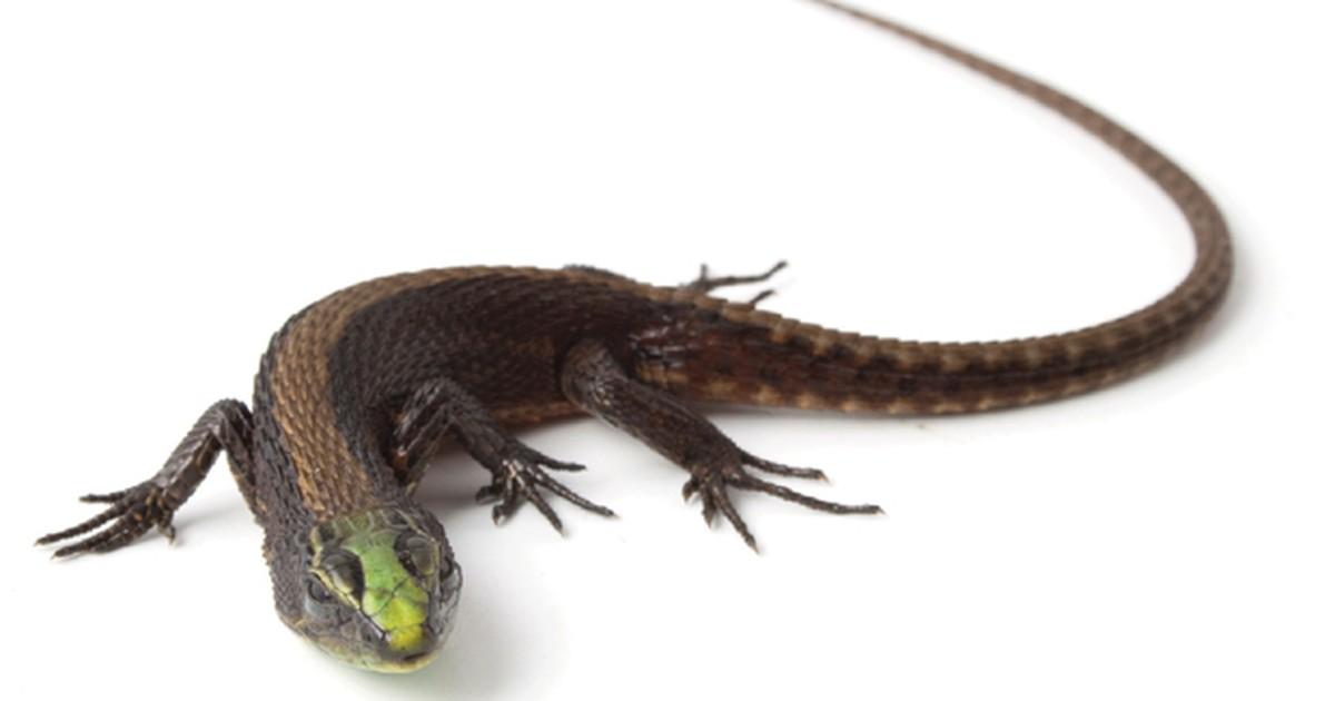 Pesquisadores do Equador descobrem lagarto de cores vibrantes