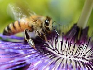 Inseticidas estariam matando abelhas, de acordo com cientistas (Foto: Joe Klamar/AFP)