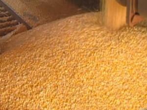 qualidade do milho surpreende produtores em MS (Foto: Reprodução/ TV Morena)