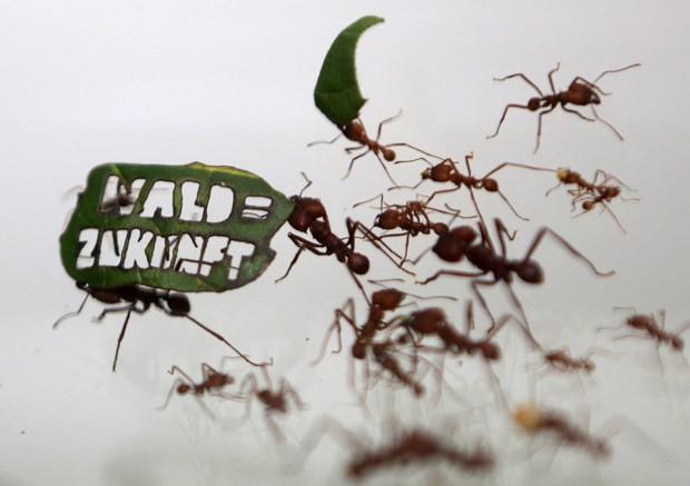 'Floresta = Futuro' diz slogam cortado em folha carregada pelas formigas do Zoológico de Colônia, na Alemanha  (Foto: Reuters/Ina Fassbender)