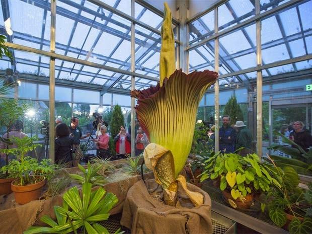Flor-cadáver do Jardim Botânico de Denver, nos Estados Unidos, atriu 22 mil visitantes na semana passada (Foto: Reprodução/ Facebook/ Denver Botanic Gardens)