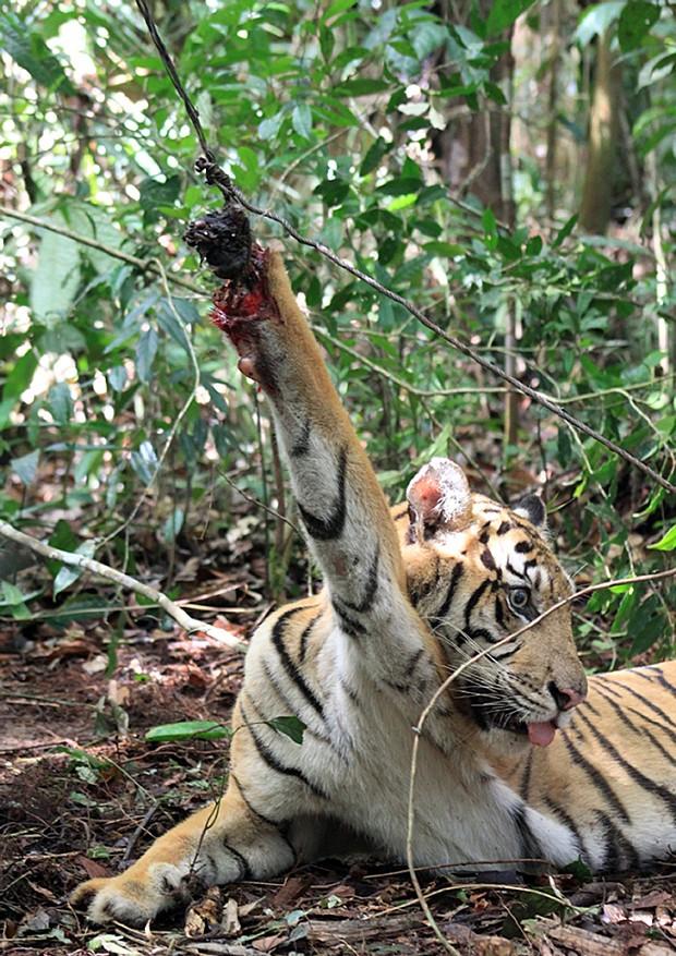 Tigre capturado Indonésia (Foto: Kerinci Seblat Parque Nacional/AFP)