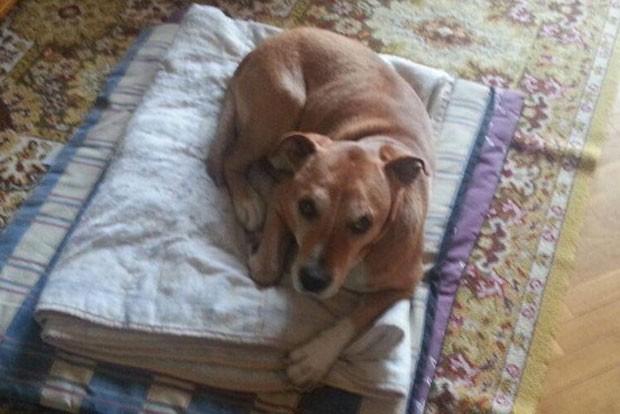 Foto sem data mostra o cão Exaclibur, da enfermeira espanhola infectada com ebola (Foto: PACMA/AP)