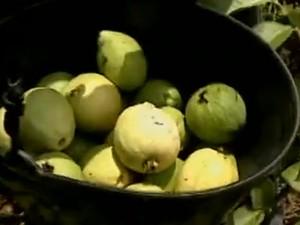 Produção de goiabas em Santa Maria da Boa Vista (Foto: Reprodução/ TV Grande Rio)