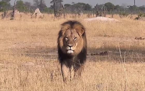 O leão Cecil, do Zimbábue (Foto: Reprodução/Youtube)