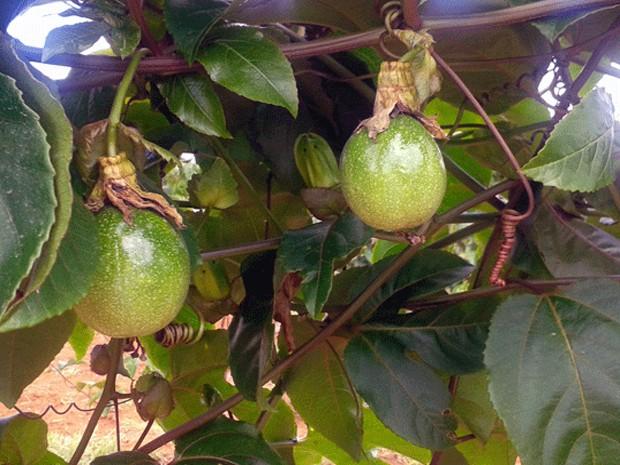 Pompéu, frutas, fruticultura, produção (Foto: Assessoria/Divulgação)