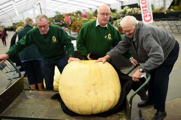 Juízes prepararam para pesar abóbora durante tradicional feira de Harrogate, na Inglaterra (Foto: Oli Scarf/AFP)
