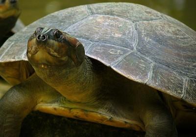 tartaruga_gigante_Amazônia (Foto: Wikimedia Commons)