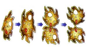 Figura 4: Reprodução das amebas por divisão binária. (Foto: Reprodução/Colégio Qi)