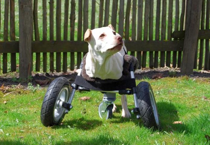 Prótese permitiu que cadela pudesse andar (Foto: Reprodução/Blog da Luisa)