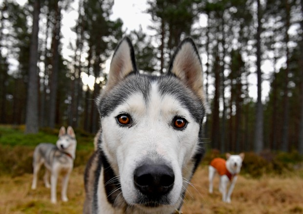 Husky (Foto: Getty Images)