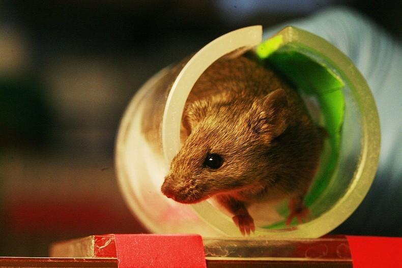 Ratos alcóolatras conseguiram deixar o vício para trás fazendo um tratamento com luzes (Foto: Wikimedia Commons)