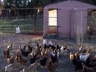 Criatividade é estratégia para proteger lavouras de ataques de aves