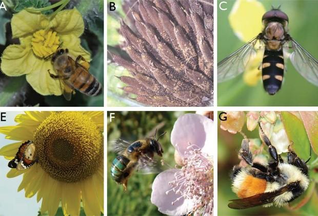 Abelhas de diversas espécies encontradas em vários locais do mundo polinizam flores (Foto: Reprodução/'Science')