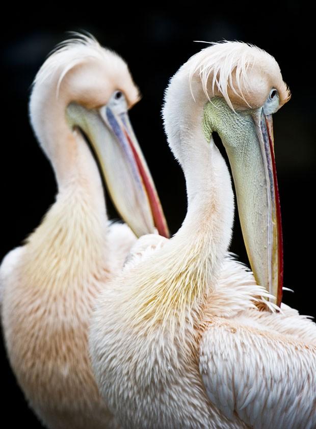Pelicanos foram fotografados em poses quase idênticas em zoo alemão (Foto: Nicolas Armer/AFP)