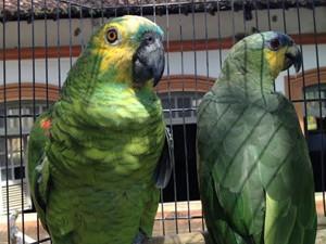 Papagaios estavam entre aves apreendidas (Fot Walter Paparazzo/G1)
