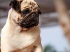 ONG denuncia ação de gangues que roubam cães de raça na Argentina