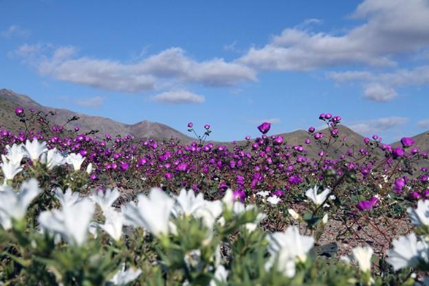 El Niño provocou chuvas que fizeram desabrochar flores no Deserto do Atacama  (Foto: AFP Photo/Carlos Aguilar)