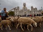 Ovelhas 'invadem' centro de Madri