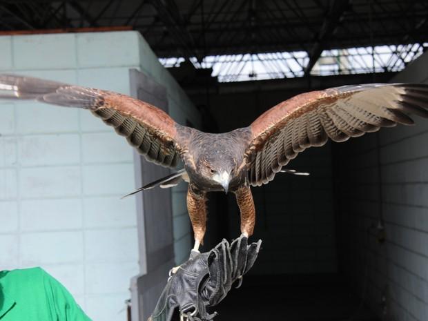 Falcões e gaviões atuam no Galeão desde maio de 2013 (Foto: Divulgação/Infraero)