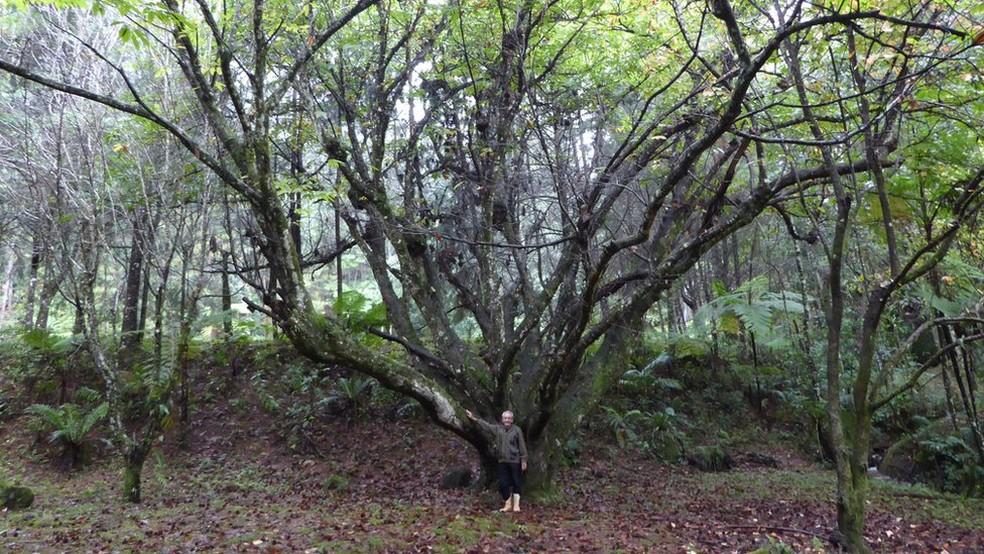 A primeira árvore que Vicente plantou foi uma castanheira (Foto: Gibby Zobel)