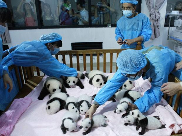 Os 14 novos integrantes da família de ursos da base foram apresentados ao público nesta segunda-feira (23), segundo a imprensa local.  (Foto: Reuters/China Daily)