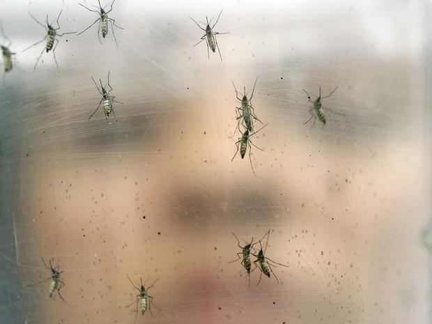 Recipiente com mosquitos Aedes aegypti é fotografado no Instituto de Ciências Biológicas da Universidade de São Paulo (USP)  (Foto: AP Photo/Andre Penner)