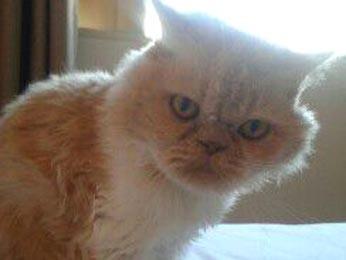 Gato Dudu, que salvou o dono de um furto a residência (Foto: Arquivo pessoal)
