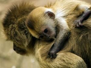 O filhote de caiarara aparece agarrado à sua mãe apenas uma semana após seu nascimento no zoológico Ramat Gan Safari, em Telavive (Israel). A espécie vive no norte da Amazônia brasileira, bem como em países vizinhos na região, como as Guianas e a Venezuel (Foto: AFP)