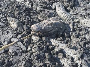 Jacarés presos na lama (Foto: Fábio Melo/Arquivo Pessoal)