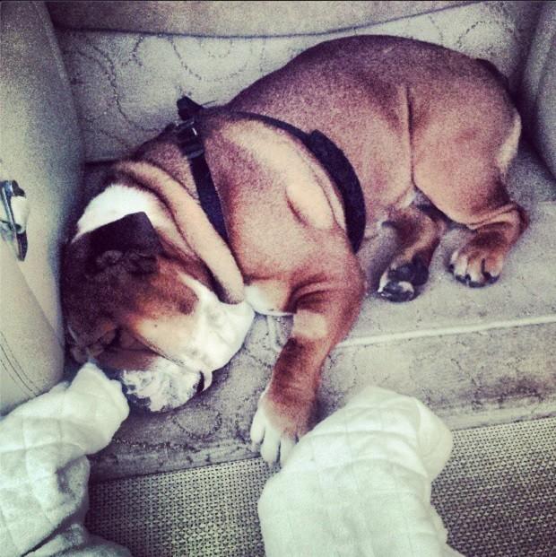 Cãozinho de Lewis Hamilton, Roscoe, está com pneumonia (Foto: Reprodução/Instagram)