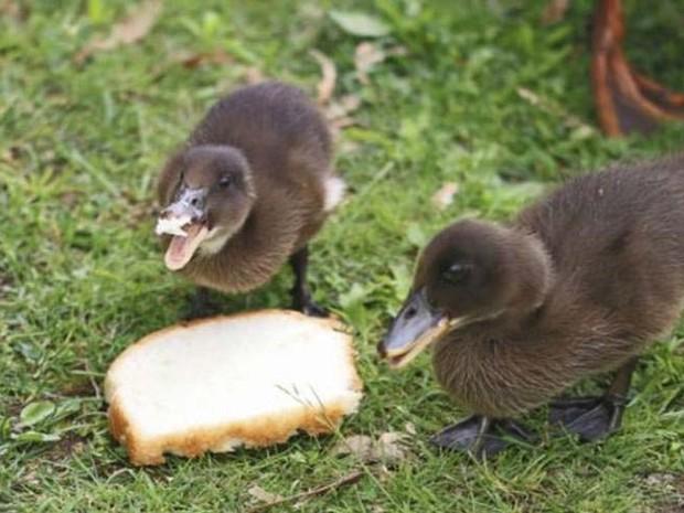 Jogar migalhas de pão prejudica a saúde do animal e interfere no ecossistema dos rios (Foto: ThinkStock/ BBC)