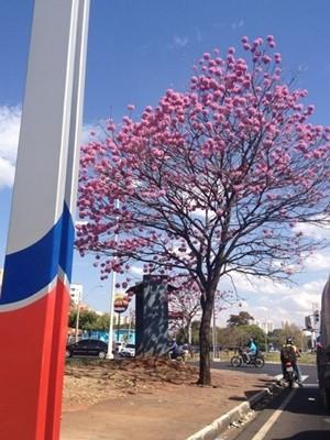 Ipê roxo traz beleza para avenida em Rio Preto (Foto: Marcos Lavezo/G1)